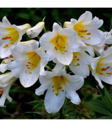 Ľalia kráľovská biela veľkokvetá - Lilium Regale Album - cibuľoviny - 1 ks