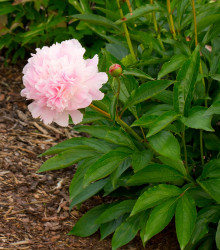 Pivónia Amabilis - Paeonia lactiflora - cibuľoviny - 1 ks