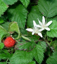 More about Ostružník nutkajský - Rubus Parviflorus - semená ostružníka - semiačka - 5 ks