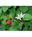 Ostružina- Malina- semená Ostružiny- 5 ks