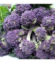 Brokolica skorá fialová - Rudolph - Brassica oleracea - predaj semien brokolice - 30 Ks