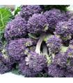 Brokolica skorá fialová - Rudolph - Brassica oleracea - semená - 30 ks