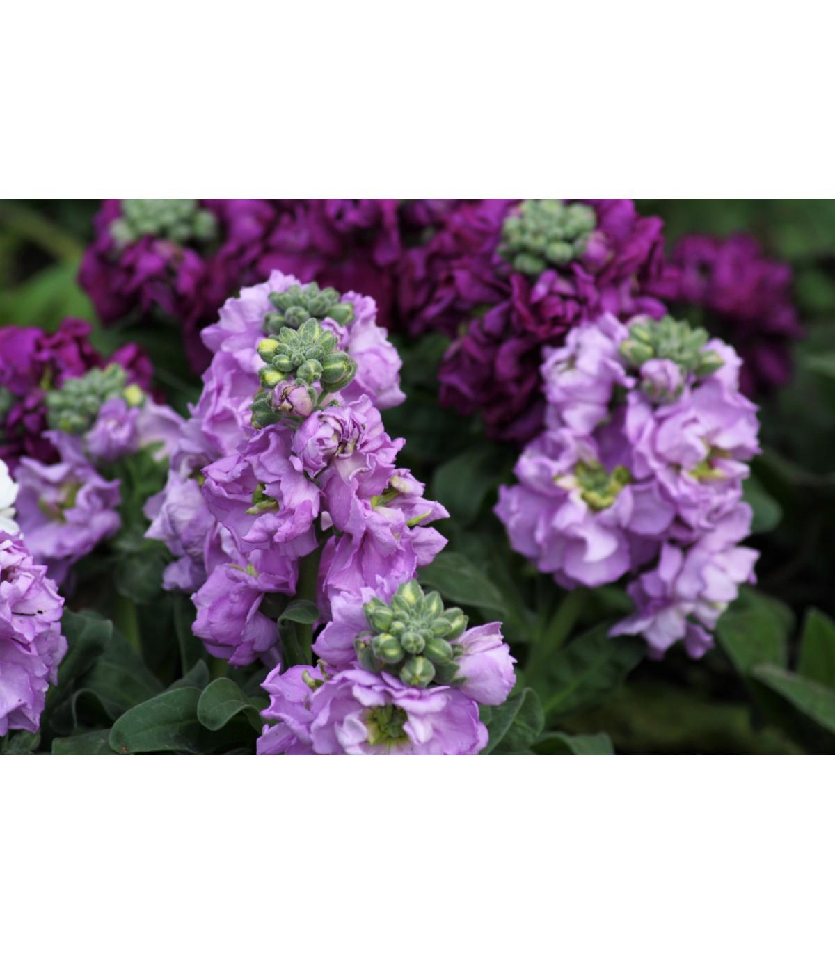 Fiala sivá - zmes Miracle - Matthiola incana - predaj semien - 0,1 gr