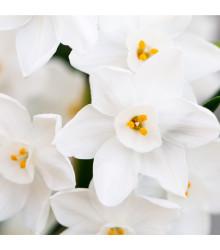 Narcis Rippling Waters - predaj cibuľovín - biele narcisy - 3 ks