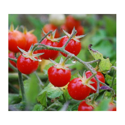 Divá paradajka červená - Lycopersicon pimpinellifolium - predaj semien divých paradajok - 6 ks
