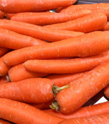 Mrkva obyčajná dlhá červená - Lange Rote Stumpf ohne Herz 2 - Daucus carota - osivo mrkvy - 1 g