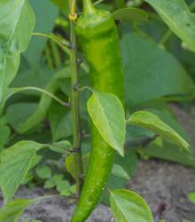 Chilli - Zlaté grécke feferónky - semená chilli - semiačka - 7 ks