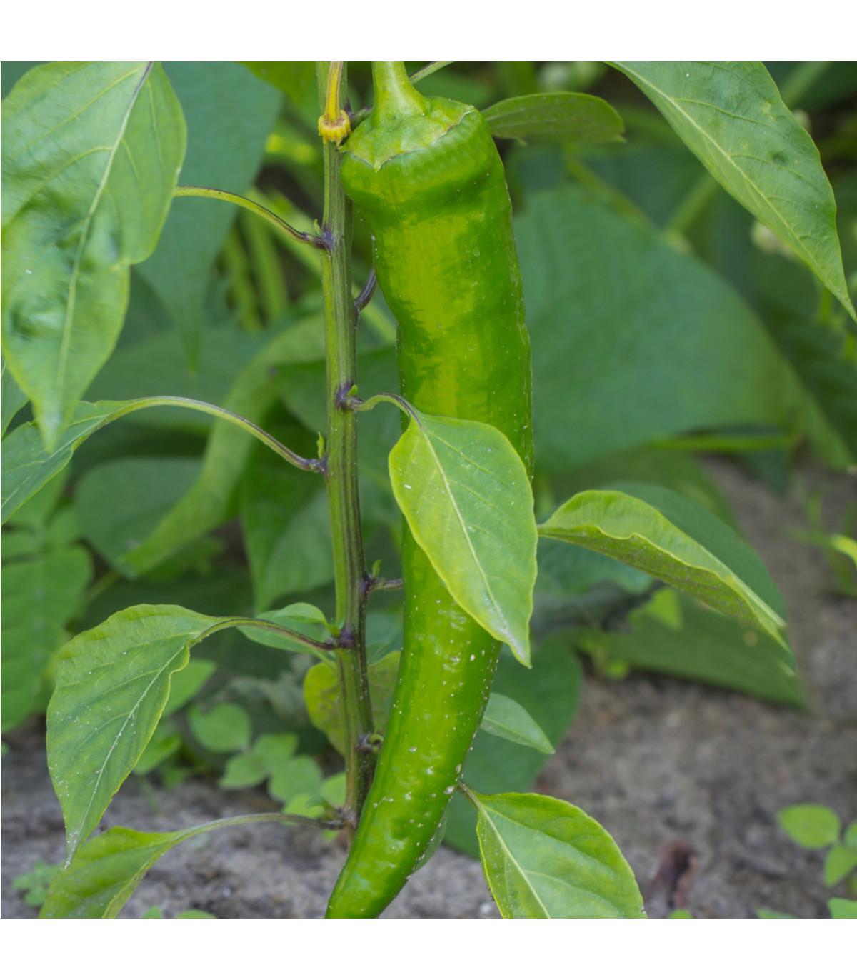 Chili - Zlaté grécke feferónky- semená chili- 7ks