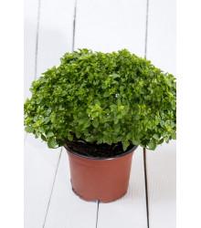 Bazalka pravá vonná Piccolino - Ocimum basilicum - semená bazalky - 0,2 g