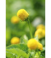 Plamatka kapustová Homer - Spilanthes oleracea - semená - 15 ks