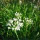 Pažítka čínska Neko - Allium tuberosum - semená - 20 ks