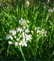 Pažítka čínska Neko - Allium tuberosum - semená pažítky - 20 ks