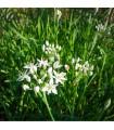Pažítka čínska Neko - Allium tuberosum - semená pažítky - 0,3 g