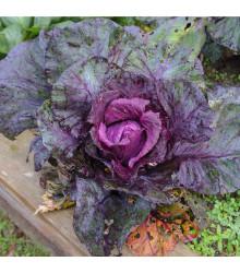 Kapusta hlávková červená Kalibos - Brassica oleracea - semená - 0,5 g