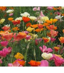 Slncovka kalifornská - zmes farieb - Eschscholzia californica - semená - 200 ks