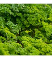 Petržlen Afrodite - Petroselinum crispum - semená petržlenu - 350 ks