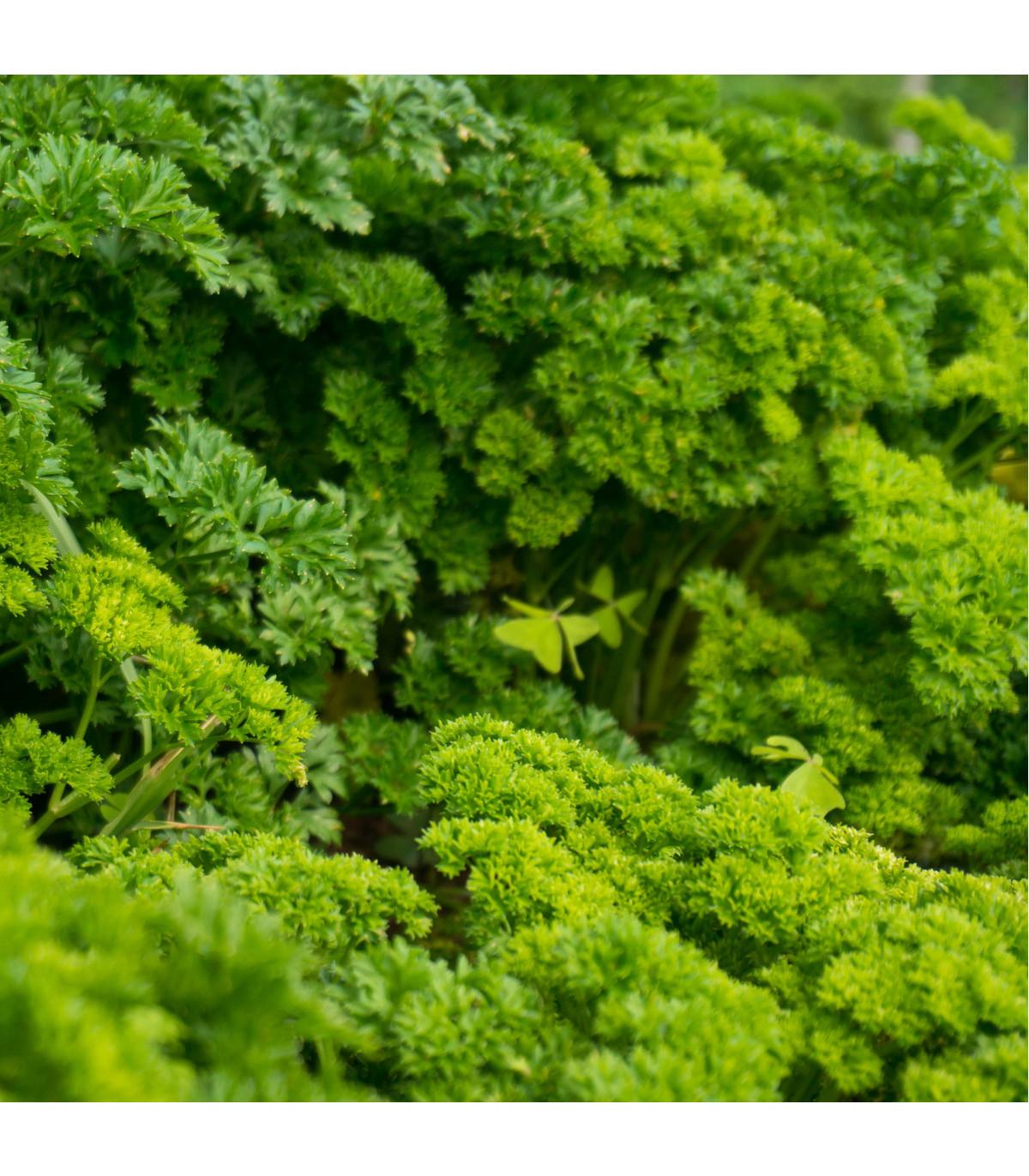 Petržlenová vňať Afrodite - Petroselinum crispum - semená - 350 ks