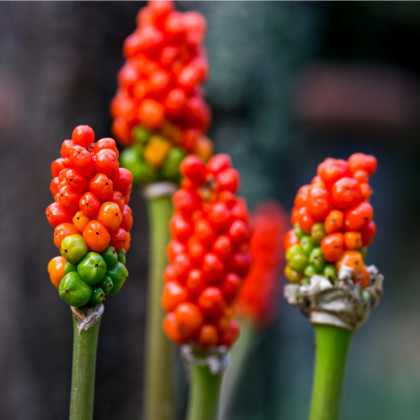 Áron červený - Arum italicum - cibuľoviny - 2 ks