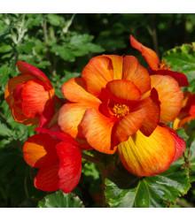 Begónia Picottee - Begonia Picottee - cibuľoviny - 2 ks