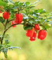 Chilli Scotch Bonnet červené - Capsicum Chinense - semená - 6 ks