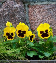 Sirôtka Schweizer Riesen Goldgelb - Viola wittrockiana - semená - 200 ks