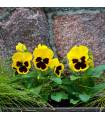 Sirôtka Schweizer Riesen Goldgelb - zlatožltá - Viola wittrockiana - predaj semien sirôtky - 200 ks