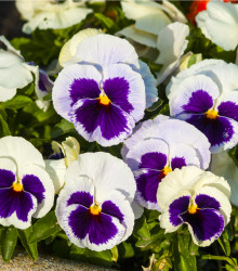 Sirôtka Silberbraut - Viola wittrockiana - semená - 200 ks