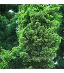 Tuja orientálna - Platycladus orientalis - semená - 10 ks