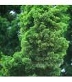 Tuja orientálna - Platycladus orientalis - semená tuje - 10 ks