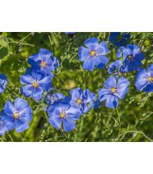 Ľan modrý - Linum perenne - semená - 250 ks