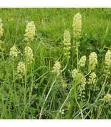 Rezeda žltá - Reseda lutea - semená - 50 ks