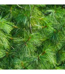 More about Borovica Roxburghova - Pinus roxburhii - semená - 5 ks