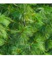 Borovica Roxburghova - Pinus roxburhii - semená borovice - semiačka - 5 ks