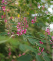 Indigovník farbiarsky - Indigofera tinctoria - semená indigovníka - semiačka - 7 ks
