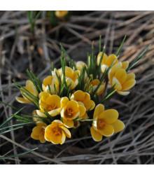 Krókus Romance žltý - Crocus Chrysanthus - cibuľoviny - 3 ks