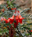 Africká bylina - Sutherlandia frutescens - semená - 4 ks