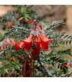 Africká bylina- Sutherlandia- semená- 4 ks