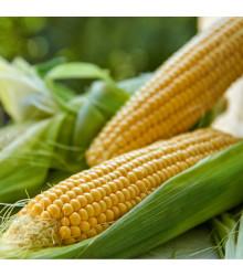Kukurica siata Tatonka F1 - Zea Mays L. - semená - 15 ks