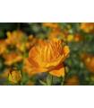Upolín čínsky Gold queen - Trollius chinensis - predaj semien - 20 ks