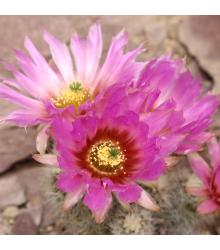 Semená kaktusov - Echinocereus reichenbachii - 8 ks