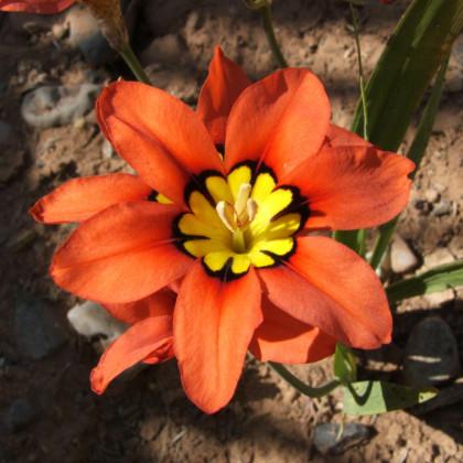 Cigánsky kvet - Sparaxis - cibuľoviny - 8 ks