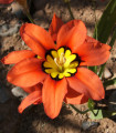 Cigánsky svet - cibule Cigánskeho kvetu - 8 ks