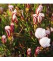 Šťaveľ dvojfarebný - Oxalis versicolor - cibuľoviny - 1 ks