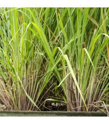 Citronová tráva - Cymbopogon citratus - semená - semiačka - 20 ks