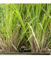 Citrónová tráva - Cymbopogon citratus - semená citrónovej trávy - 20 ks