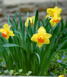 Narcis Jetfire - Narcissus L. - cibuľoviny - 3 ks
