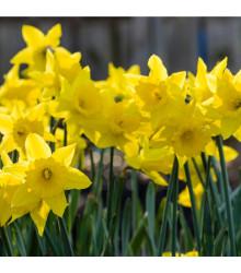 Narcis trúbkovitý Dutch master - Narcissus - cibuľoviny - 3 ks