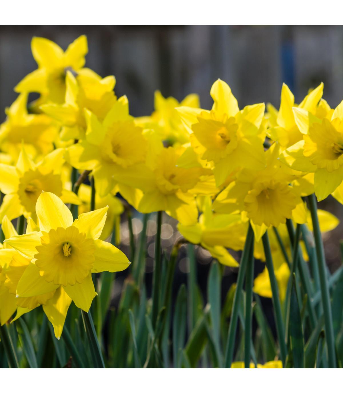 Narcis trubkovitý Holandský master - cibule narcisu - cibuľky - 3 ks