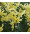 Narcis Hawera - predaj cibuľovín - narcisy - 3 ks