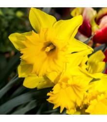 Narcis trúbkovitý Barenwyn - Narcissus Barenwyn - cibuľoviny - 3 ks